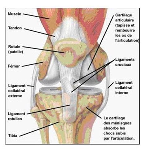 semaines 44 45 anatomie du genou marche nordique trails et r 233 cits de courses