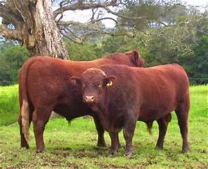 Devon Cattle Bull Sale
