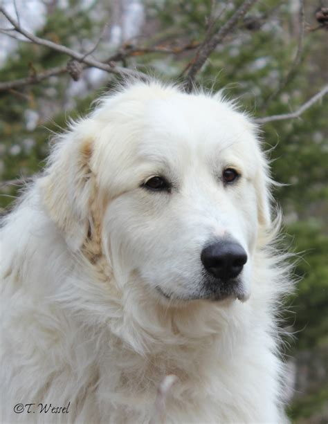 great pyrenees breeds picture