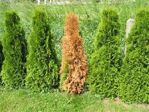 Warum Sind Pflanzen Grün : einzelne thuja smaragd werden braun pflanzenkrankheiten sch dlinge green24 hilfe pflege ~ Markanthonyermac.com Haus und Dekorationen