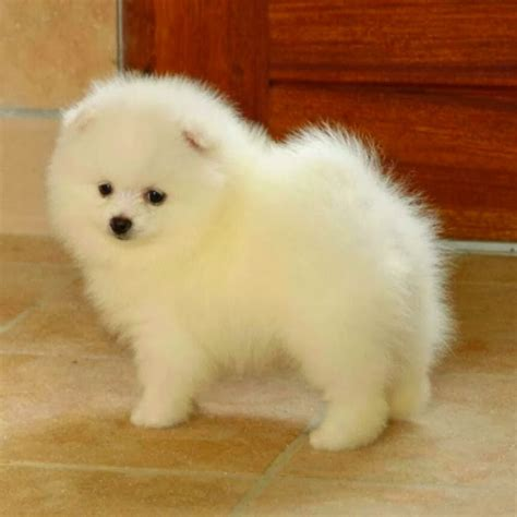 small breed dogs that don t shed breeds puppies small breed dogs that don t shed