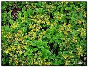 Fette Henne Sorten : gelbe bodendecker fetthenne sedum kamtschaticum var floriferum pflanzen enzyklop die ~ Markanthonyermac.com Haus und Dekorationen