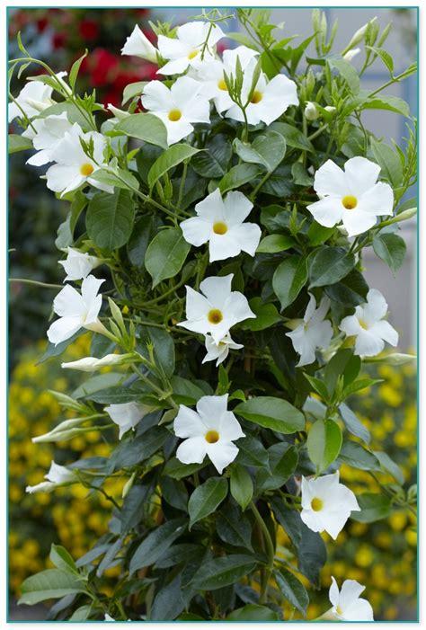 Climbing Flowering Plants