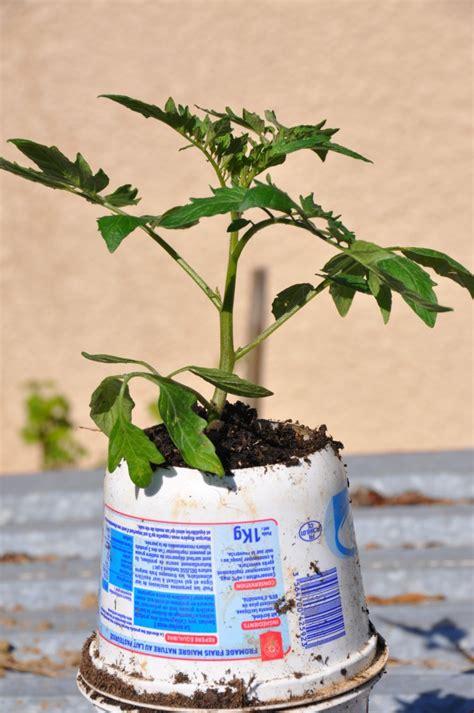 planter des tomates en pots jardiner avec jean paul