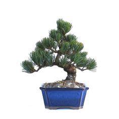 acheter un bonsai pinus pentaphylla pin blanc du japon 27 cm 140303 chez sankaly bonsa 239 magasin