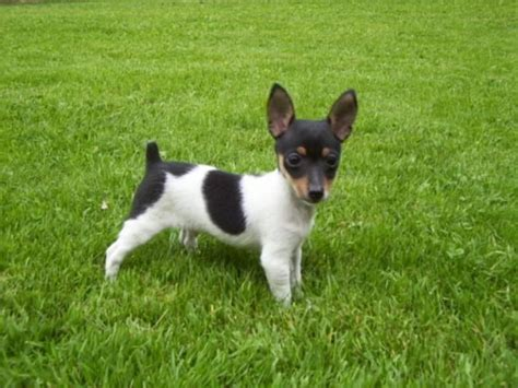 Rat Terrier Shedding Help by Rat Terrier Fox Terrier Puppy For Sale In