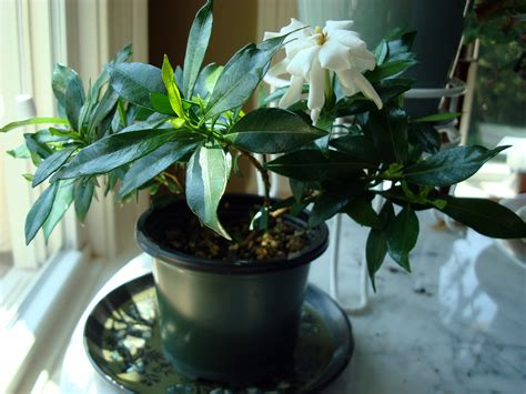 Gardenia Jasminoides Radican'  Fragrant Gardening