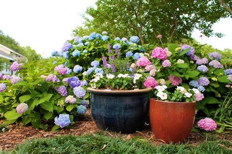 i m all about hydrangeas garden