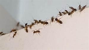 Hilft Mehl Gegen Ameisen : ameisen bek mpfen tipps gegen ameisen im haus ~ Whattoseeinmadrid.com Haus und Dekorationen