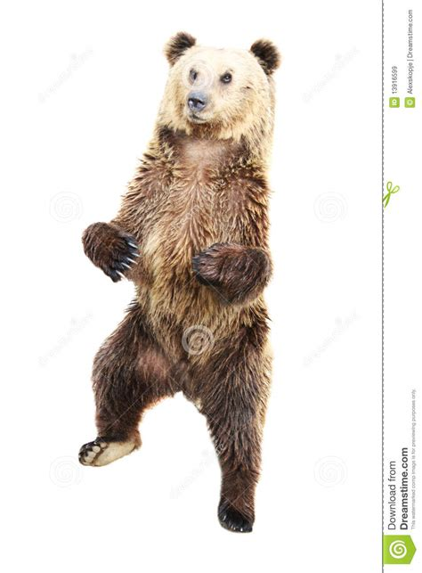 Brown Bear Standing Royalty Free Stock Images Image