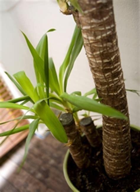 les feuilles de mon yucca sont entrain de jaunir plantes du jardin et de la maison forum du