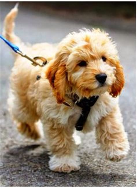 goldendoodle a golden retriever with curly hair and no shedding perfection fur babies