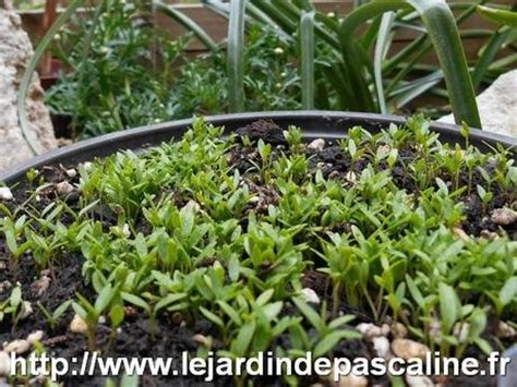 semis de persil paperblog