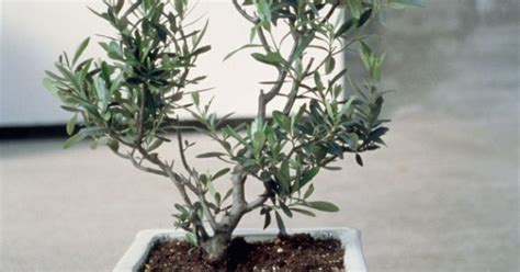 comment tailler un olivier maison