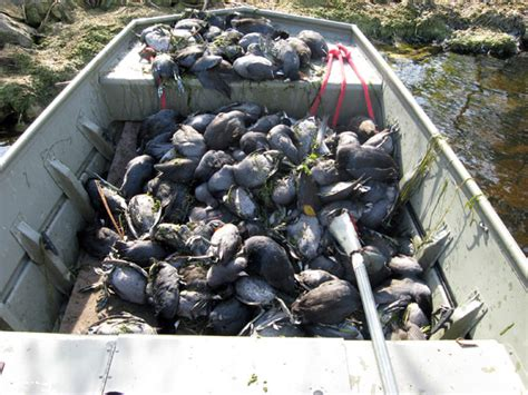 Duck Hunting Boat Death by Dead Ducks Jeannie Ology