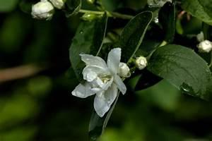 Jasmin Zimmerpflanze Pflege : pfeifenstrauch pflanzen pflegen schneiden und mehr ~ Markanthonyermac.com Haus und Dekorationen