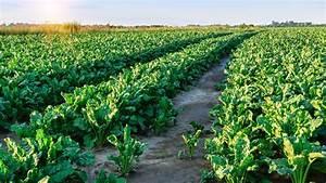 Belarus sugar production to rise to 600,000 tonnes :: IEG Vu