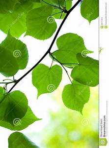 Leaves Of Young Dipterocarpaceae Stock Image ...