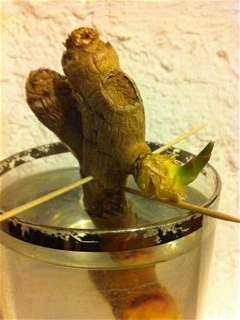 faire pousser du gingembre dans un verre d eau