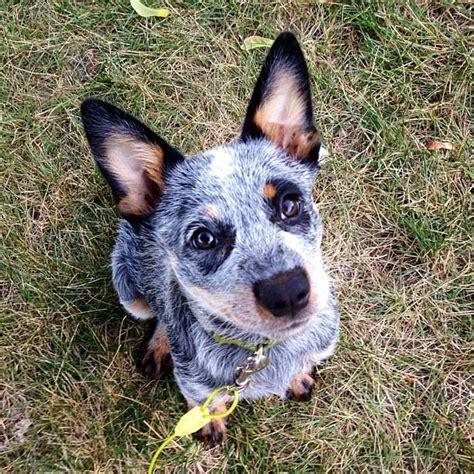 Stop Blue Heeler Shedding by Beagle Heeler Mix Temperament Breeds Picture
