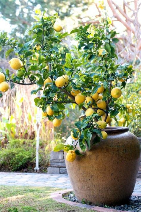 lemon tree care as you correctly a lemon tree fresh design pedia