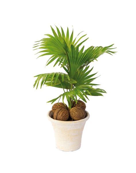petit palmier en pot jardiniere
