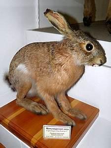 Grau Bis Schwarzbrauner Farbton : mandschurischer hase wikipedia ~ Markanthonyermac.com Haus und Dekorationen