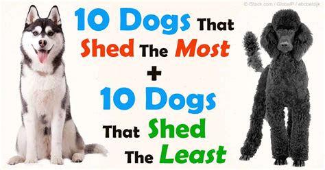 do akita dogs shed hair the best way to manage shedding