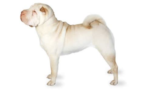do shar pei dogs shed hair top 21 dogs that don t shed dogtime
