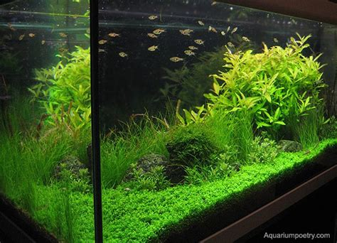 preparation and maintenance of a planted aquarium with a nutrient rich substrate acvaiasi