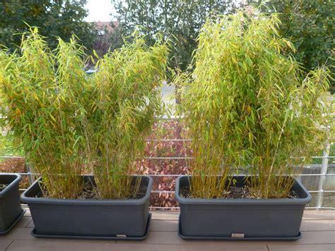 mon fargesia en pot d 233 p 233 rit lesbambous fr forum des fous de bambous