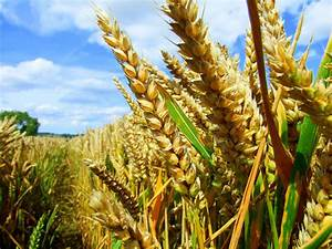 New analysis Impact of GMO crops: pesticide down 37% ...