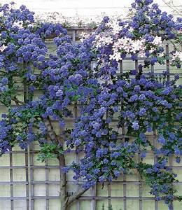 Kletterpflanzen Immergrün Winterhart : kletternde s ckelblume ceanothus 39 trewithen blue 39 im 3 liter container garten pinterest ~ Markanthonyermac.com Haus und Dekorationen