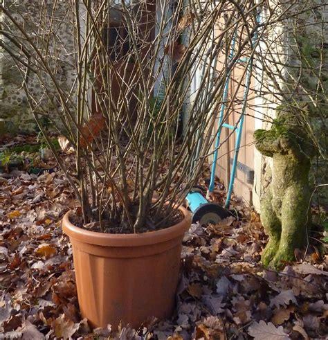 lilas en pot my beautiful jardin