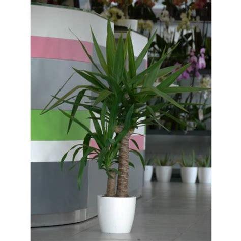plante d int 233 rieur yucca 2 troncs pot blanc vente plante d int 233 rieur yucca 2 troncs