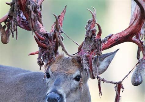 10 awesome photos of deer shedding their velvet pics