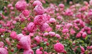 Rosen Kaufen Günstig : rose pomponella rosa pomponella g nstig online kaufen ~ Markanthonyermac.com Haus und Dekorationen