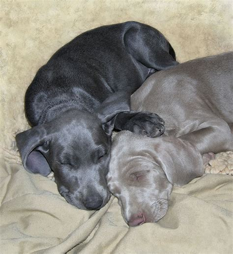 blue and gray weimaraner puppies sleep in loving harmony