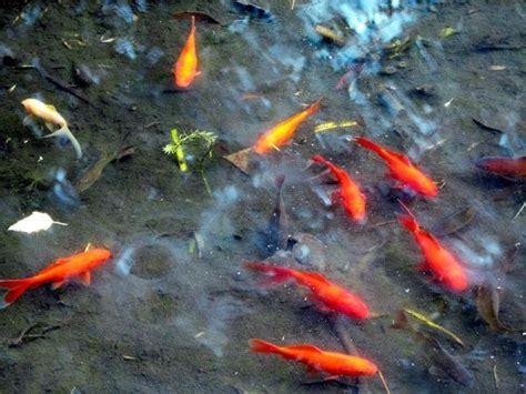 aquariophilie eau douce poisson esp 232 ces telescopes chinois bassin