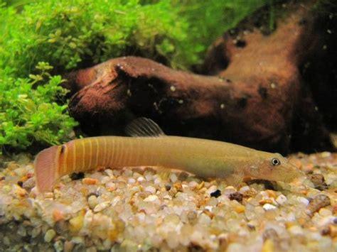 aquabase org aquariophilie d eau douce poisson