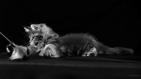 noir et blanc images wallpaper desktop chats chatons photos 2560 x 1440 fond 2560x1440
