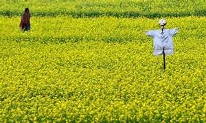 GM Mustard in India: Five unanswered questions - Ecologise