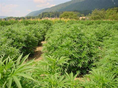 cannabis seg 250 n el clima