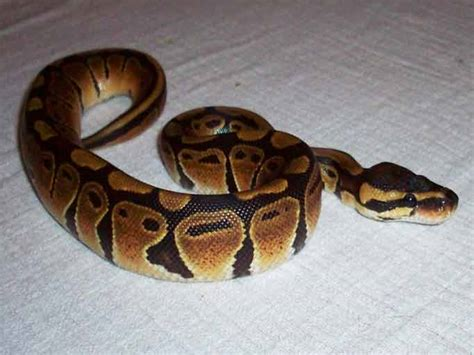 python shedding signs spare gerbils page 2 reptile forums