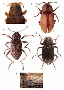 Diagnostic characteristics for adults of the Elmidae ...
