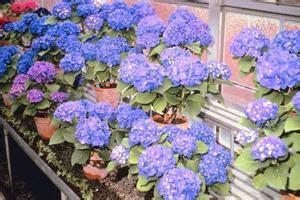 comment planter un hortensia en pot 224 l ext 233 rieur condexatedenbay