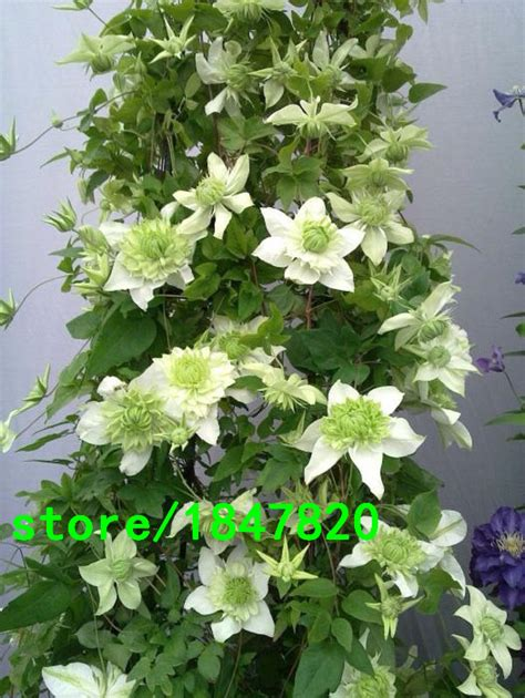 Clematis Seeds Clematis Montana Vine Flowers Plant Seed
