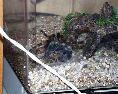 do tarantulas shed their legs shedding tarantula