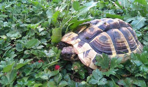 tortue hermann combien d 233 es vit une tortue d hermann