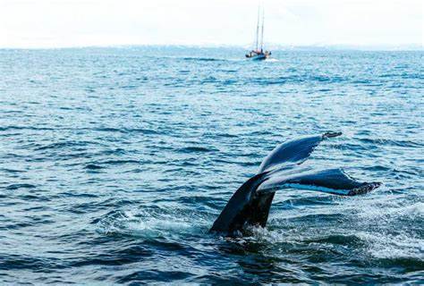 Rib Boat Whale Watching Tromso by Whale Watching In Norway Best Places And Time To See